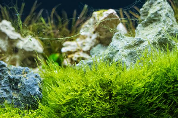 alga_az_akvariumban